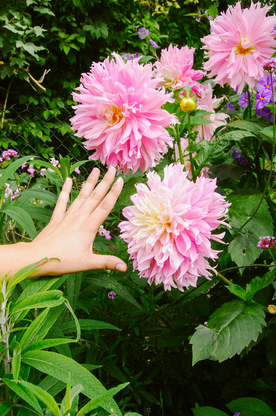 Big Pink Dahlias at Giverny