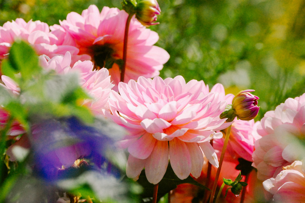 Pink Dahlias at Giverny