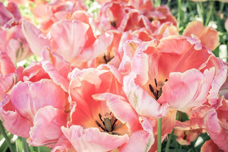 Tulip Fields Washington