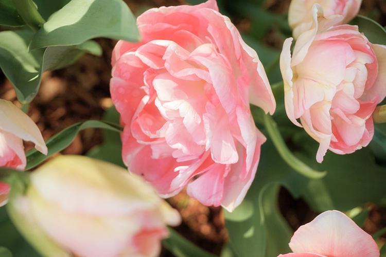 Tulip_Daydreams