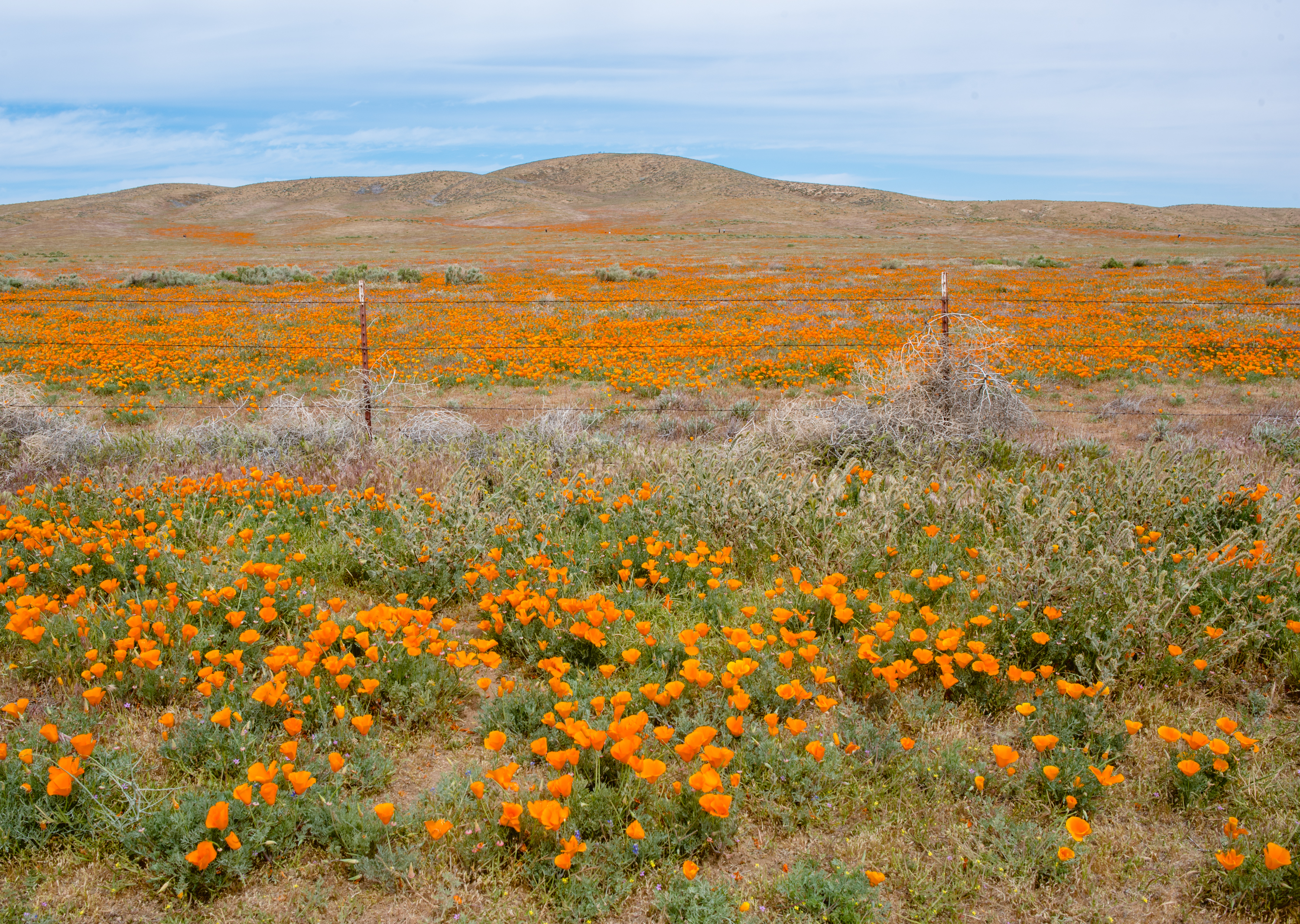 Antelope Valley Poppy Preserve, California | French Californian