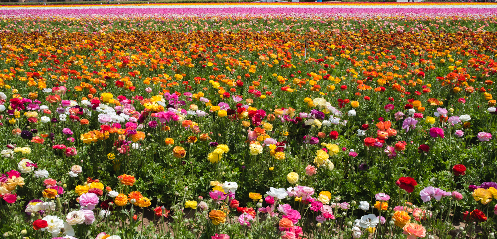 Ranunculus Flower Field in Carlsbad, California | French Californian
